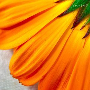 お花の観察(頭状花序)⑥廣田農園さんのキンセンカ