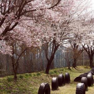 小さな小学校の桜     西春近