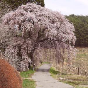 吉瀬部落へ  吉瀬の枝垂れ桜   三月三十日