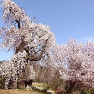 桜の老将軍   東伊那地区
