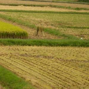 台風が来る前に 田圃の稲刈りが進む