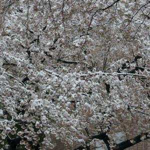 桜の花に雪が積もっています