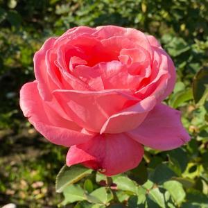 オプジーボの副作用と心臓と薔薇