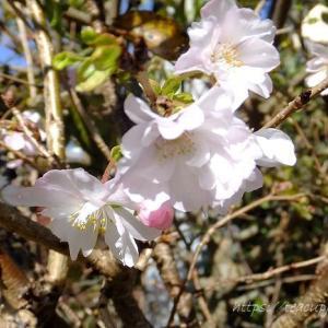 桜が咲いていました♪