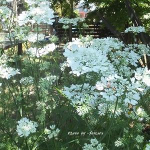 オルレア・ホワイトレースの庭♪