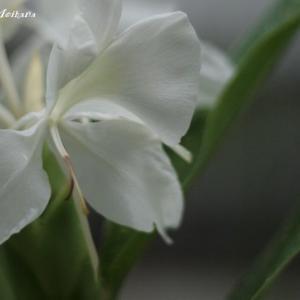 優雅に咲く夏の花ジンジャーリリー
