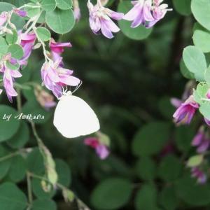 しみじみと秋を感じる萩の花