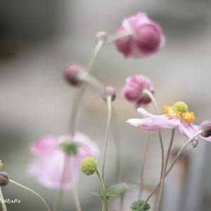 中国原産という秋明菊♪
