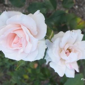 薔薇はつぼみが多くてこれからのようでした