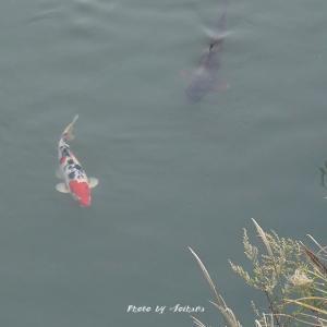 母さん 小川に〇〇〇鯉が泳いでいましたよ!
