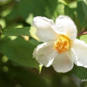 はかない一日花の夏椿