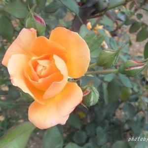 ときどき薔薇を無性に見たくなりまして