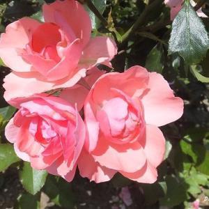 被写体として薔薇は上位に入ります