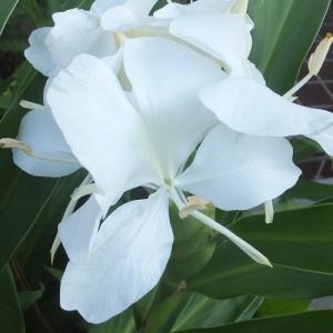 今年も咲いたかぐわしい香りのジンジャーリリー(Ginger lily)