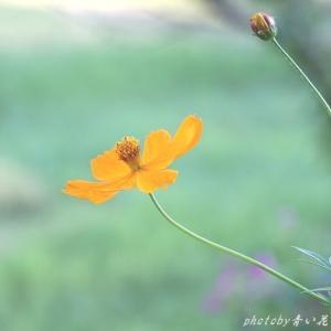 やたら咲いているけれどキバナコスモスもきれい♪