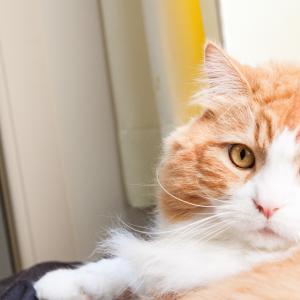 ■ネコ 慢性腎不全は3分の2が崩れないとクレアチンが上がらない。#慢性腎不全#クレアチン