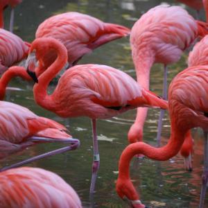 ■がん フラミンゴのピンク色とがんの毛を考える #がん #フラミンゴ