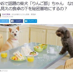 ■Yahoo!ニュース SNSで話題の柴犬「りんご郎」ちゃん なぜ丸見えの食卓の下を秘密基地に