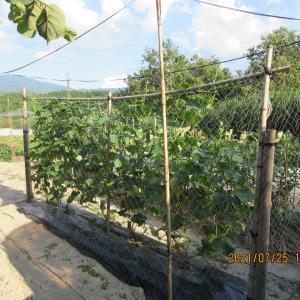 胡瓜の種まき