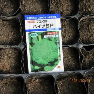 ブロッコリーの種まきとトウモロコシの定植、ミニトマトの撤去