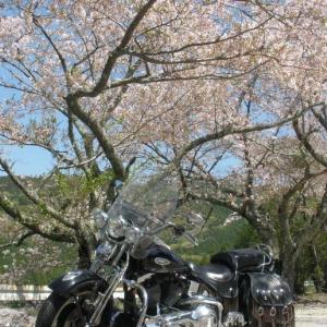 #龍河洞前の桜 先々週w@#HA-METAL