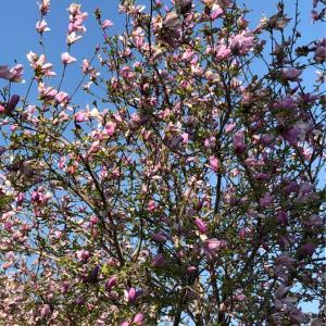 ワシントンの桜祭り。。で働いてきた!