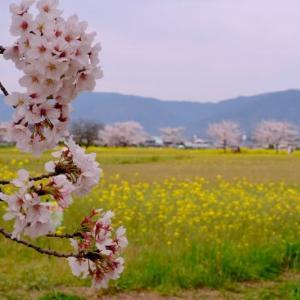 藤原宮で桜と菜の花のコラボを楽しみました(1)