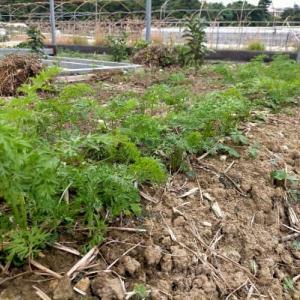 秋植え野菜