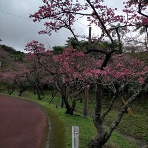 八重岳の桜 ふたたび