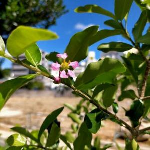 アセロラの開花!
