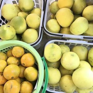 柑橘類はこれから('19.11.2)
