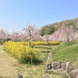 近くの枝垂れ桜('20.4.6)