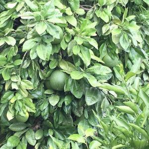 柑橘類順調('19.8.6)