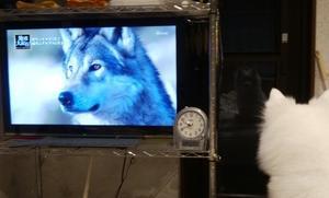 オオカミの特集を観るよ