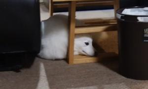 テーブルの下に入ってみた