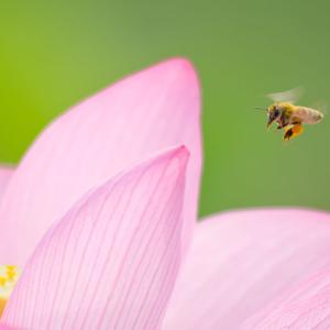 ビーポーレン(Bee pollen)はホントにパーフェクトフードなの?