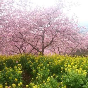 *【春ドライブ】河津桜とおいしいもの*