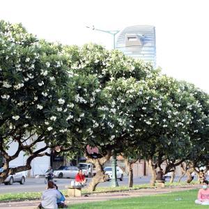 プルメリアの花が咲き誇っている公園。