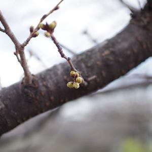 おじラン!「梅は咲いたか桜はまだかいな?山崎川」ラン!