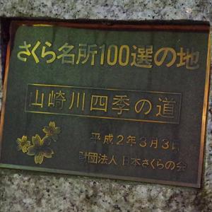 山崎川の桜 ...偵察してきた!