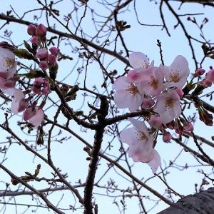 新堀川・牛巻橋付近の「桜」