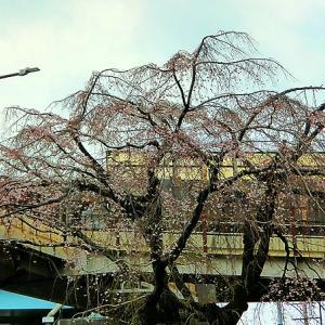 内田橋北交差点の「しだれ桜」