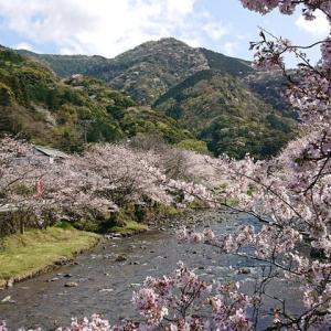 伊豆松崎那賀川の桜、花見客少なく・・
