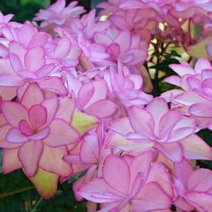 梅雨空に映える5花満開