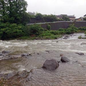 狩野川、川鵜の天国状態