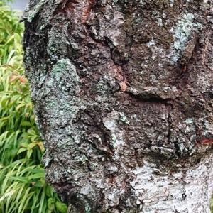 桜の樹勢回復対策
