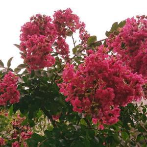 夏の花木サルスベリ