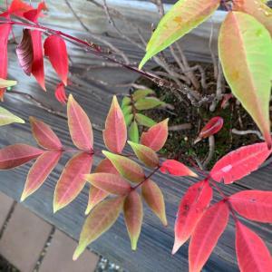 ハゼの寄せ植え 紅葉