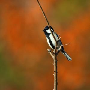 河川敷の鳥たち普通種3種類