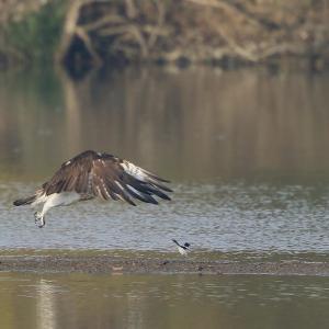 ミサゴの飛出し 逃げるセキレイ 枚方河川敷